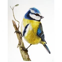 Blue-tit realistic bird watercolor